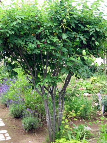 ジューンベリーの木