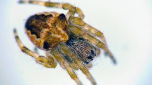 体調1mmにも満たないクモ