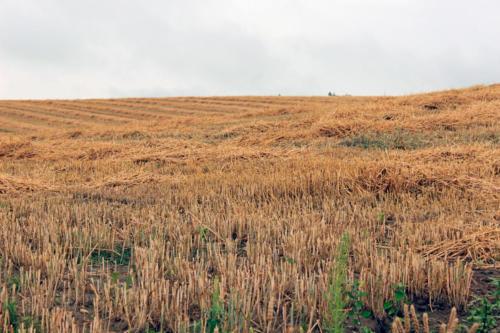 刈り取られた秋蒔き小麦